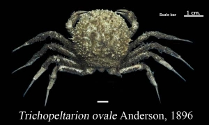 Trichopeltarion ovale Anderson, 1896